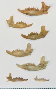 2. kép. Óriások a törpék között: az óriáscickányok (felső öt példány) állkapocsméretének összehasonlítása a mai közepes és kisméretű fajokéval (alsó sor). A kép alján látható skála mm-es beosztású. Fentről lefelé: a pleisztocén korú óriáscickány Beremendia fissidens (Villány 3. lelőhely), majd a miocén Anourosoricinik: Crusafontina kormosi és Amblycoptus oligodon (Polgárdi 4. lelőhely), valamint a Kordosia topali (Polgárdi 5. lelőhely). Alattuk a Délkelet-Ázsiában ma is élő rokonuk, az Anourosorex squamipes (Vietnam). Az alsó sorban balra a ma is élő Sorex araneus, jobbra pedig a Sorex minutus látható (mindkettő a Vaskapu 2. lelőhelyről.) (A szerző felvétele.)