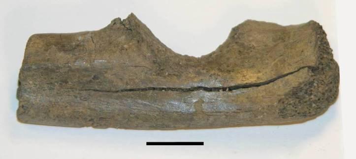 6. kép. Egy közepes méretű ragadozó állat jobb singcsontja a késő miocén időszakból. Az ásatást végző kutatócsoport tafonómus szakértője, Miranda Armour-Chelu hívta fel a szerző figyelmét a csont azon felületi módosulásaira, amelyek a miocén óriáscickányok táplálkozásnyomai lehetnek. (A szerző felvétele.)