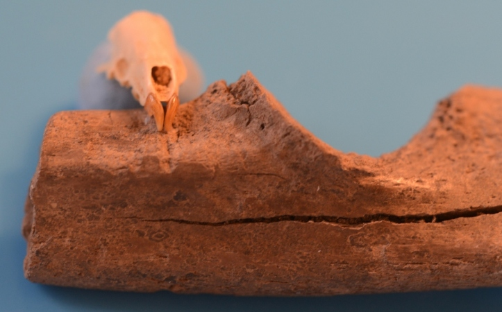 7. kép. A rágásnyomok és a késő miocén időszakban élt Crusafontina endemica óriáscickány koponyája a jellegzetes, előreálló metszőfogakkal. (Polgári Máté felvétele.)