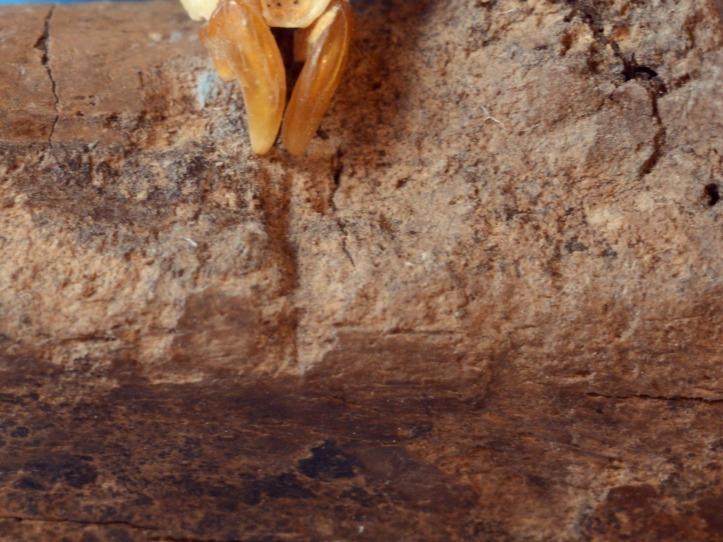8. kép. A Crusafontina endemica metszőfogai tökéletesen illeszkednek a singcsonton talált rágásnyomokhoz (Polgári Máté felvétele.)
